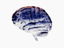 Brain 3d Royalty Free Stock Photos