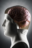 Brain. A human head model with the brain Stock Photography