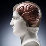 Brain. A model human head with the brain exposed Stock Images