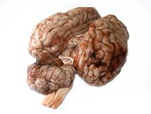 Brain. Photograph of a real brain isolated on white background Royalty Free Stock Images