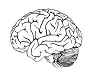 Brain. Human brain on white background royalty free illustration