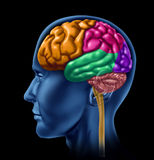 Brain activity intelligence. Human brain with multicolored lobe sections representing intelligence and neurological activity royalty free illustration