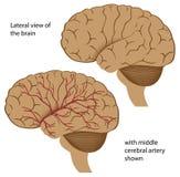 Brain anatomy Royalty Free Stock Image