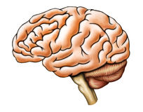 Brain anatomy. Human brain anatomy, side view. Digital illustration Stock Photo