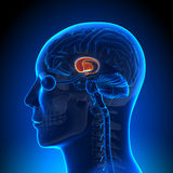 Brain Anatomy - Basal Ganglia Stock Photo