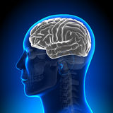 Brain Anatomy - Brain White Blank. Medical imaging Royalty Free Stock Photo