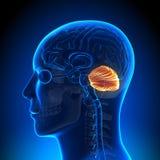 Brain Anatomy - cerebelo ilustração royalty free