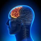 Brain Anatomy - cerveau complètement Images stock