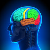 Brain Anatomy - Color parts. Medical Imaging Stock Photography