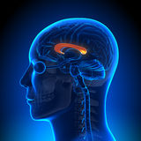 Brain Anatomy - corpus Callosum Photo stock