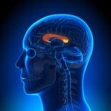 Brain Anatomy - Corpus Callosum. Medical imaging Stock Photo