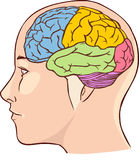 Brain anatomy diagram with sectioned in different colours  Royalty Free Stock Images