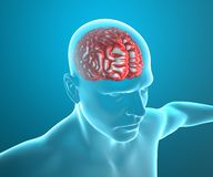 Brain anatomy head man, x-ray Royalty Free Stock Image