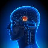 Brain Anatomy - Hippotalamus Stock Photos
