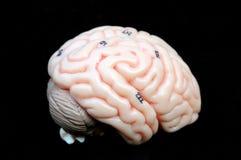 Brain Stock Image