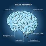 Brain Anatomy Royalty Free Stock Photo