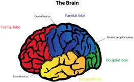 Brain Anatomy Labeled Diagram Stock Image