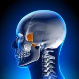 Brain Anatomy - Lacrimal bone. Medical imaging Royalty Free Stock Photo