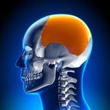 Brain Anatomy - lobo parietale illustrazione vettoriale