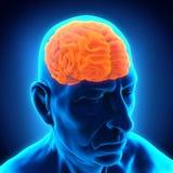 Brain Anatomy maschio anziano illustrazione di stock