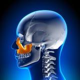 Brain Anatomy - Maxilla. Medical imaging Stock Photos