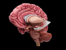 The brain anatomy. Medically accurate illustration of the brain anatomy Stock Photos