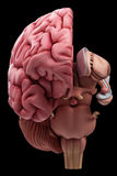 The brain anatomy. Medically accurate illustration of the brain anatomy royalty free illustration