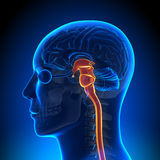 Brain Anatomy - moelle épinière Illustration Stock