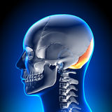Brain Anatomy - Occipital Bone. Medical imaging Stock Photography