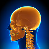 Brain Anatomy - Orange Skull Royalty Free Stock Image
