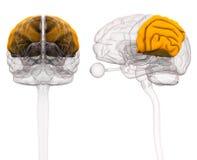 Brain Anatomy parietale - illustrazione 3d illustrazione vettoriale