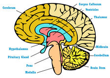 Brain anatomy scheme Royalty Free Stock Images
