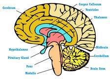 Brain anatomy scheme Royalty Free Stock Images