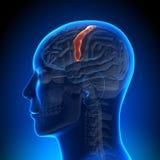 Brain Anatomy - Sensorimotor area. Medical imaging Royalty Free Stock Photo
