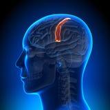 Brain Anatomy - Sensorimotor area. Medical imaging Royalty Free Stock Photos