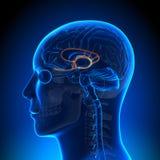 Brain Anatomy - sistema límbico ilustração do vetor
