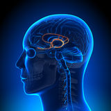 Brain Anatomy - sistema límbico Imagem de Stock