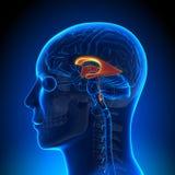 Brain Anatomy - Ventrikels vector illustratie