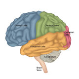 Brain Anatomy Vue de partie latérale de cerveau humain O d'isolement par illustration Photo libre de droits