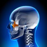 Brain Anatomy - Zygomatic bone. Medical imaging Royalty Free Stock Image