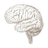 Brain as a pencil sketch style image Stock Photos