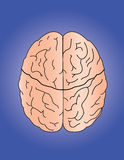 Brain. The brain on blue background Royalty Free Stock Image