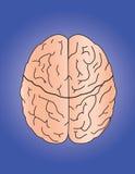 Brain Royalty Free Stock Image