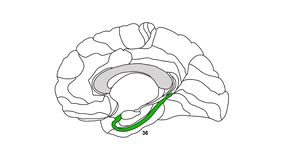 Brain Brodmann area map isolated sagittal region of the cerebral cortex wit numbers and descriptions on white background