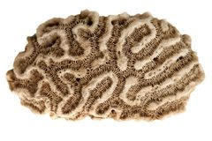 Brain caribbean coral. Isolated over white background Royalty Free Stock Photo