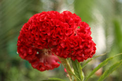 Brain Celosia flower or Cockscomb flower Royalty Free Stock Photos