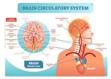 Brain circulatory system anatomical vector illustration diagram. Human brain blood vessel network scheme. Blood cycle from heart to brains royalty free illustration