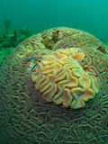 Brain Coral Royalty Free Stock Photos