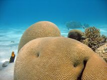 Brain Coral. A lovely photo of brain coral with vivid colors Royalty Free Stock Photos