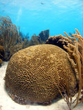Brain coral Royalty Free Stock Photography